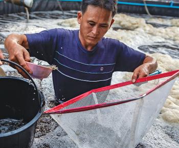 Thái Lan: Nuôi tôm ứng phó  dịch đốm trắng
