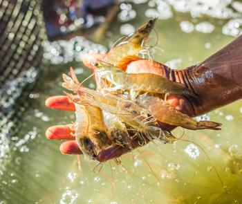 Đâu là lợi thế của ngành tôm Việt Nam?