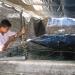 Tái tạo giống hàu ở đầm Ô Loan, lợi ích nhiều mặt