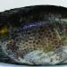 Cá dìa - Loài nuôi nước lợ đáng giá