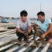 Thanh Hóa: Hiệu quả bước đầu nghề nuôi hàu Thái Bình Dương