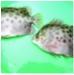Triển vọng nuôi cá nâu