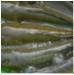 Sóc Trăng: Hiệu quả từ nuôi thủy sản mùa lũ
