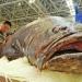 Ngư dân bắt được cá mú khổng lồ nặng 190 kg