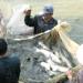 Nam Định: Chuẩn bị giống thủy sản cho năm 2016