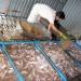Tiền Giang: Người nuôi cá lồng bè điêu đứng vì mặn xâm nhập