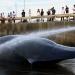Nhật Bản giết chết hơn 200 cá voi mang thai