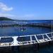 Nuôi cá ngừ vây xanh tại Nhật Bản