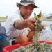 Tôm nguyên liệu tăng giá: Người nuôi được một, tiểu thương được mười