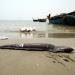 Đà Nẵng: Tiếp tục theo dõi tình trạng cá chết
