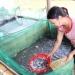 Đồng Nai: Cá nước ngọt e dè vào vụ mới