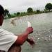 Bạc Liêu: Kinh nghiệm nuôi cá dứa trong ao tôm