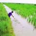 Tôm - lúa thích ứng biến đổi khí hậu