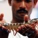Chiến lược phát triển ngành tôm Ấn Độ