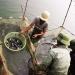 Kỹ thuật nuôi cá rô phi đơn tính đực qua đông