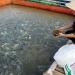 Bổ sung tỏi vào thức ăn cho cá rô phi