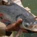 Cá hô - đặc sản, dễ nuôi