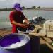 Chế phẩm probiotic cải thiện môi trường nuôi tôm