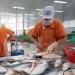Cà Mau: Ô nhiễm môi trường từ chế biến thủy sản