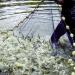 Philippines: Định hướng sản xuất và phát triển ngành tôm