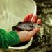 Sóc Trăng: Cá chẽm được giá, người nuôi lãi lớn