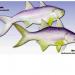 Kỹ thuật vận chuyển cá nhụ