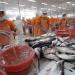 Doanh nghiệp cá tra hưởng lợi lớn tại thị trường Mỹ