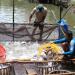 Triển vọng thị trường cá tra cuối năm