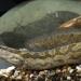 Hưng Yên: Chuyển giao công nghệ sản xuất giống cá chạch song