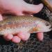Ứng dụng liệu pháp khuẩn thực thể phòng trị bệnh trên cá hồi