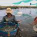 Kiên Giang: Làm bể lót bạt nuôi tôm thẻ dày đặc, dân trúng lớn