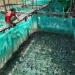 An Giang: Hiệu quả nuôi ếch Đài Loan trong mùng lưới
