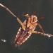 Xử lý bọ gạo trong ao ương cá bột