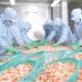 Camimex Group: Thí điểm nuôi tôm tại Quảng Trị