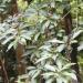Đánh giá ảnh hưởng của lá cây màng tang lên khả năng kháng bệnh do vi khuẩn (Aeromonas hydrophyla) của cá trắm cỏ (Ctenopharyngodon idella)