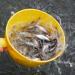 Hóa giải nỗi lo cá tra giống chất lượng