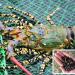 Tôm hùm kết hợp rong sụn và vẹm xanh: Giải pháp bảo vệ môi trường