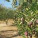 Nguồn dinh dưỡng tiềm năng từ phụ phẩm dầu ô liu