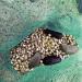 Kết hợp ốc hương với hải sâm trong ao