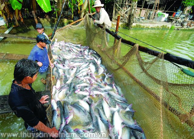 Xuất khẩu cá tra sang Trung Quốc năm 2016 đạt 305 triệu USD