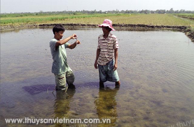 Người nuôi Augmented cường quản lý ao tôm sau mỗi trận mưa lớn trái mùa Ảnh: Ngọc Trinh