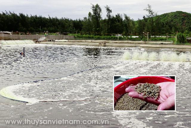 Ao nuôi tôm được cải tạo lại thành ao nuôi ốc hương     Ảnh: CTV