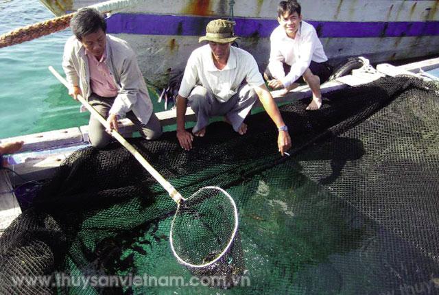Kiểm tra cá mú cọp nuôi lồng bè Ảnh: Hồng Quân