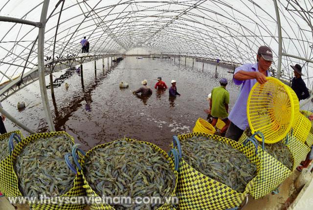 Áp dụng công nghệ cao trong nuôi tôm để nâng cao sản lượng   Ảnh: Thanh Ngân