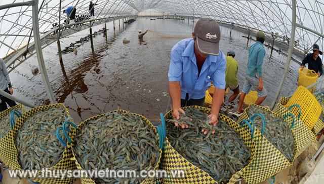 Người nuôi tại Quỳnh Lưu thu hoạch gần 1.100 tấn tôm