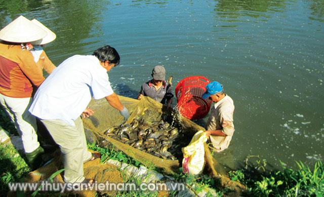 Thu hoạch cá rô đầu vuông kết hợp cá trê vàng   Ảnh: N.T