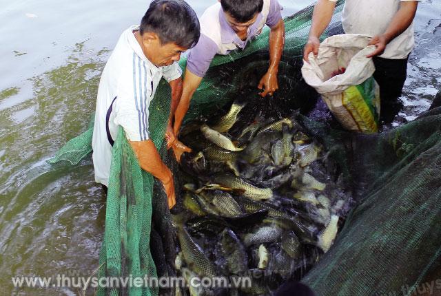 Sau 8 tháng, cá có thể thu hoạch   Ảnh: Diệp Thanh