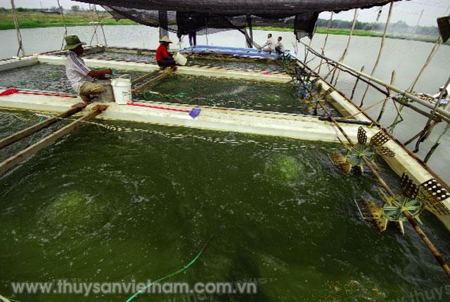 Thức ăn chủ yếu ương cá hương là cá xay hay thức ăn nhân tạo     Ảnh: Trần Út