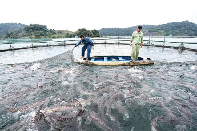 Phát triển nuôi cá lòng hồ