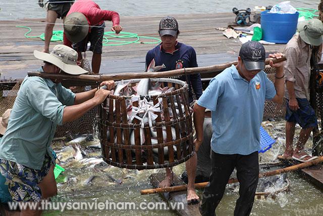 Giá cá tra nguyên liệu tại ĐBSCL trong tháng 7 khá ổn định